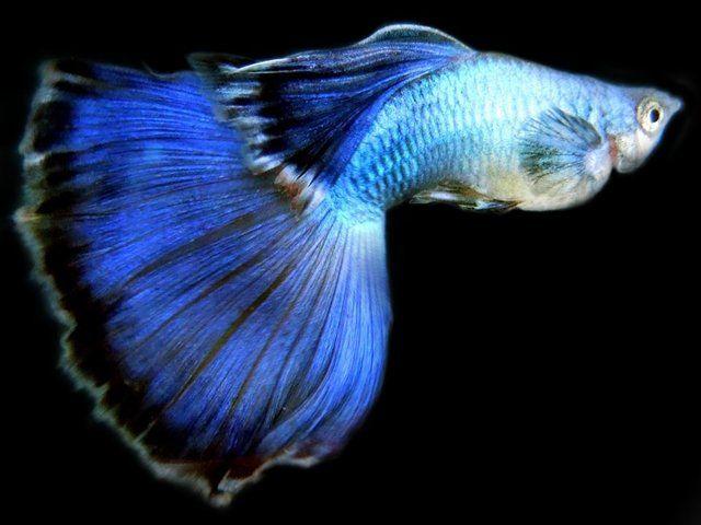 Gambar Ikan Guppy