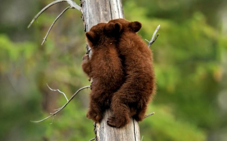 Filhotes de urso subindo o tronco de árvore