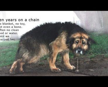 Un chien enchaîné depuis 10 ans est secouru