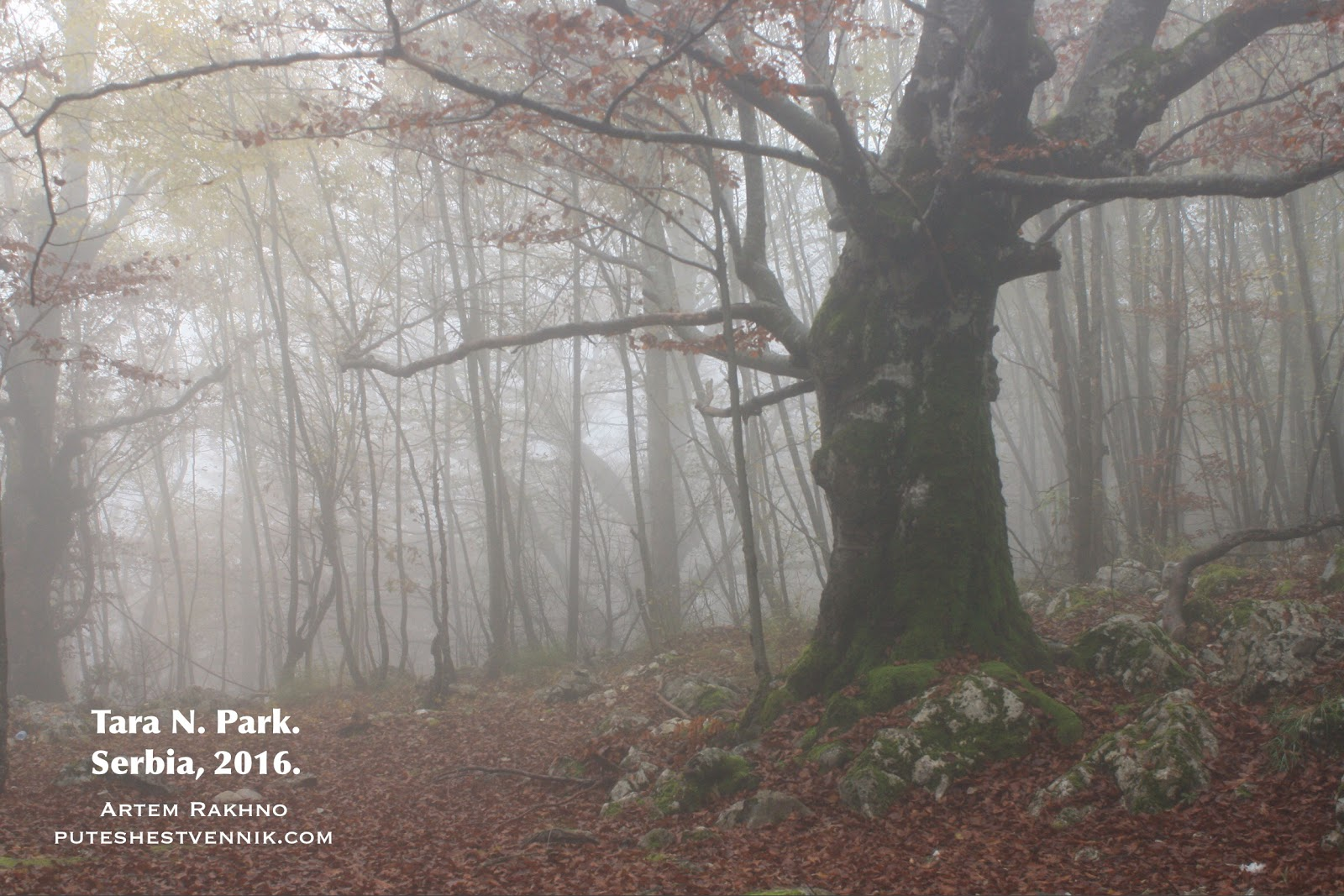 Дерево в туманном лесу