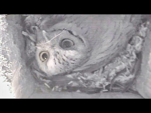 Screech Owl Nest Box Update