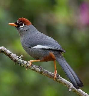 Suara burung poksay genting/poksay mandarin