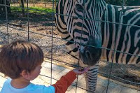 Zebra, emu and pot bellied pigs at petting zoo