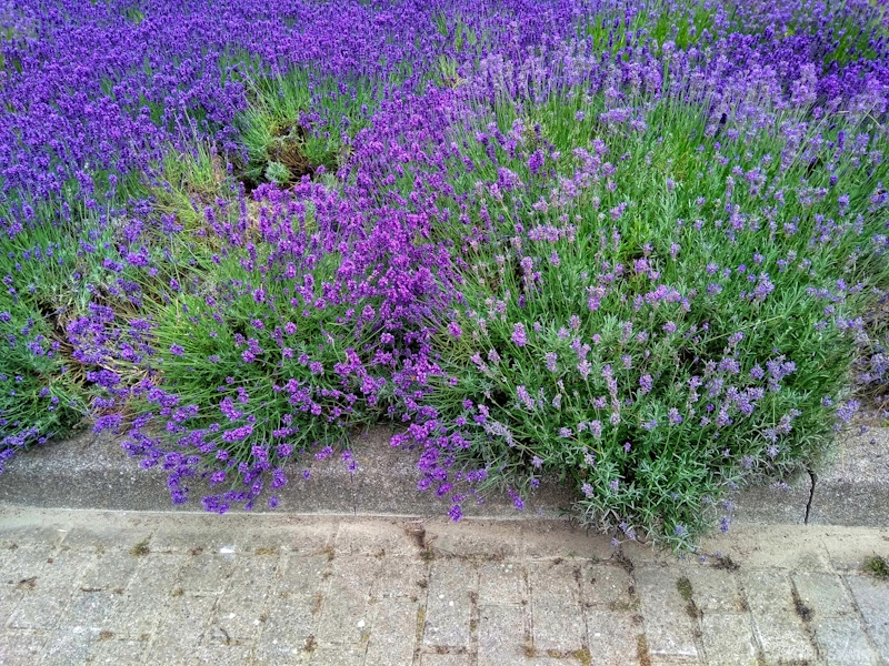 Lavender plants flowers ombre purple light to dark gradient