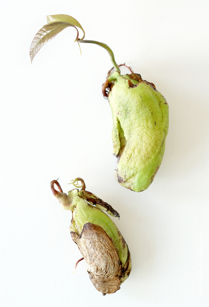 aentschies blog mangopflanze selber ziehen. Black Bedroom Furniture Sets. Home Design Ideas