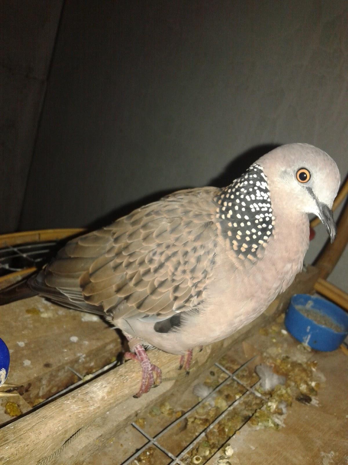 Tekukur gagap indonesia raya: Burung pikat nguku gagap