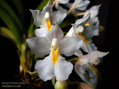 Micro Orquídea Rodriguezia venusta