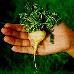 Foto de una maca en una mano humana