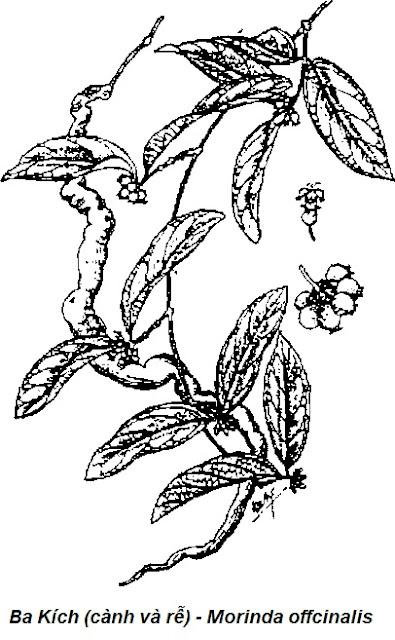 Hình vẽ Ba Kích-Morinda offcinalis-Nguyên liệu làm thuốc Hạ Huyết Áp