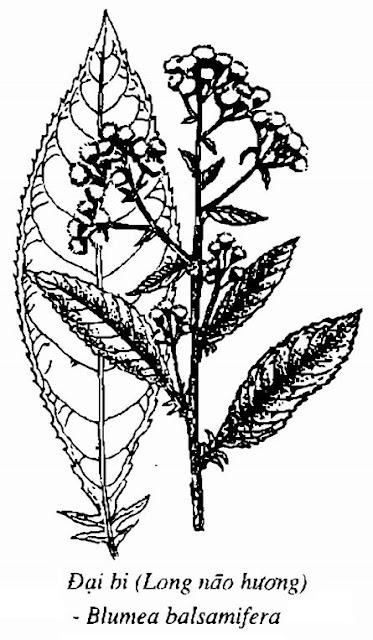 Hình vẽ Đại Bi (Long não hương) - Blumea balsamifera - Nguyên liệu làm thuốc Chữa Cảm Sốt