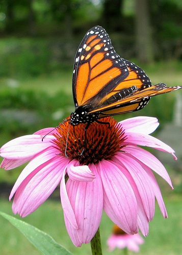 Beautiful colored monarch butterfly