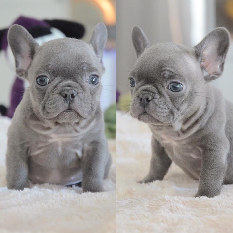 Home Raisedpotty Trained Akc French Bulldog Puppies Available For
