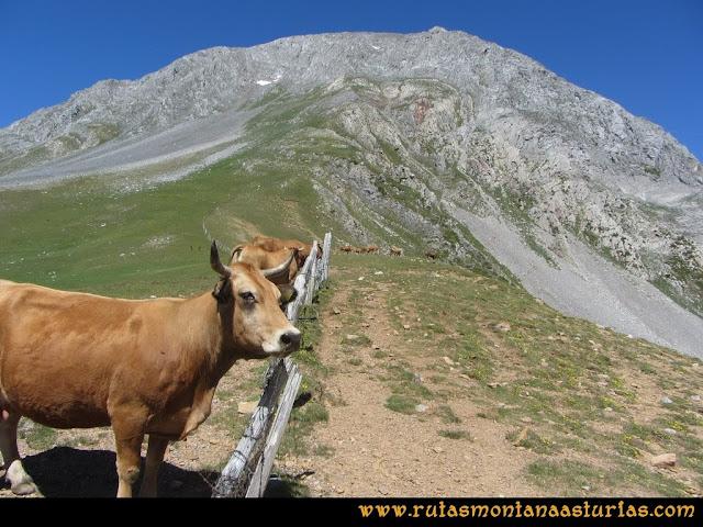 Ruta Tuiza de Arriba-Peña Ubiña: Vacas en el Alto Terreos