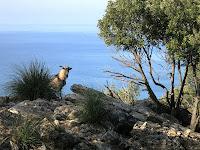 Wild goat on Palmaria Island, Liguria
