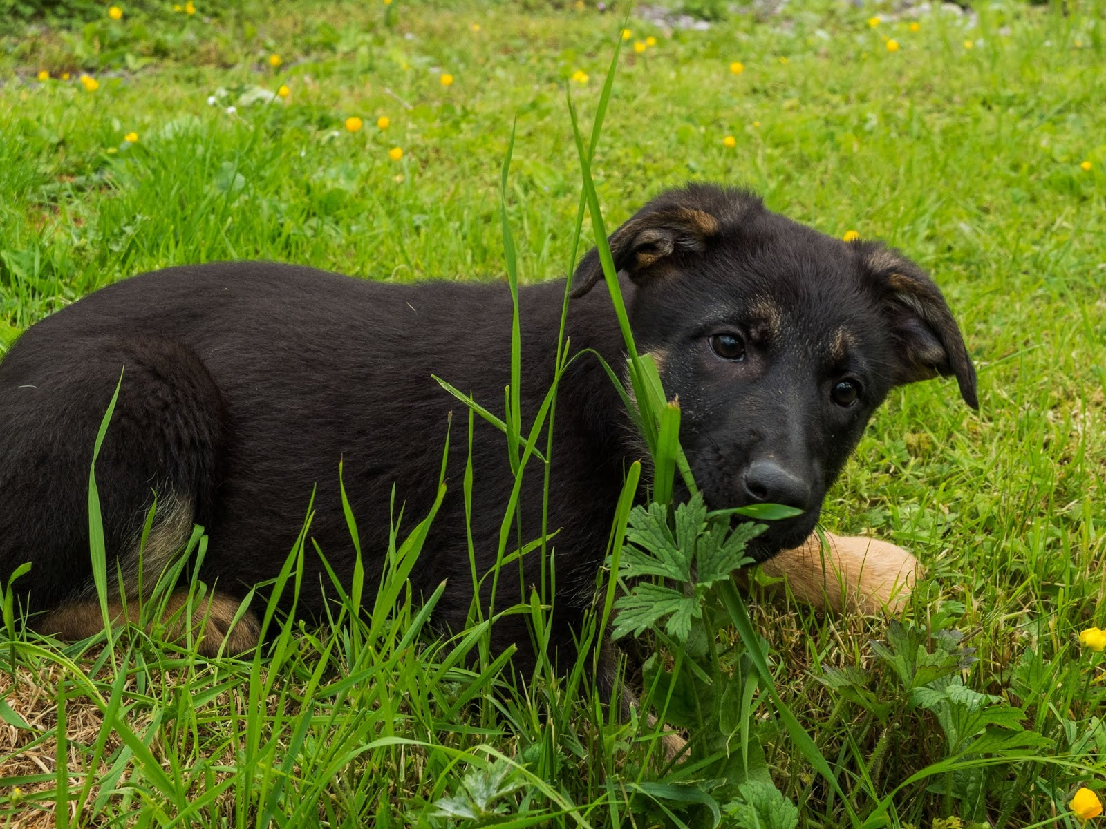 A German Shepherd puppy lying in the grass and sniffing grass blades.
