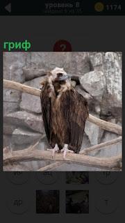 Среди скал на ветке дерева сидит хищная птица гриф с крепким клювом