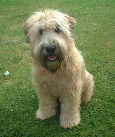 Crowdsourcing A Puppy Wheaten Terrier