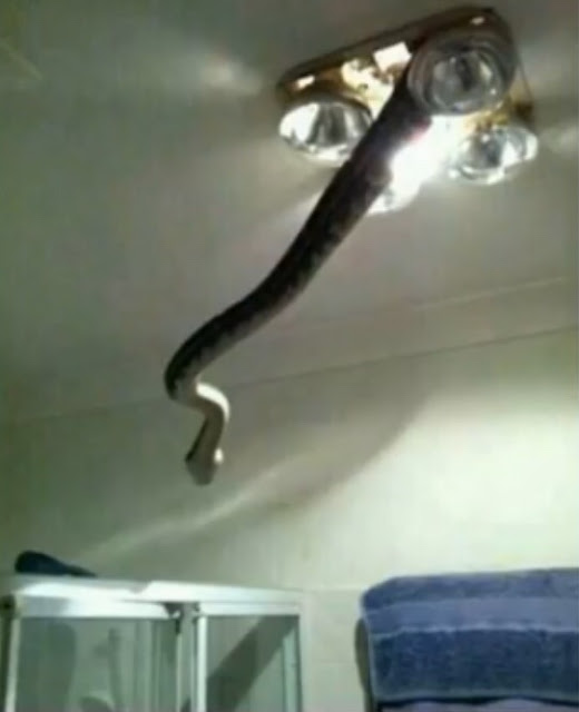 """Other Countries be like """"There's a spider in the bathroom!""""  But in Australia... (we only pick on ya 'cause we love ya!) #australia #nope #snake #funny #relatable"""