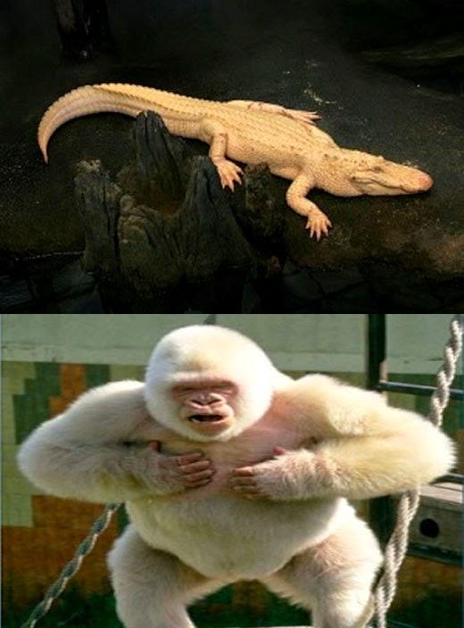 Animais albinos - Jacaré e gorila