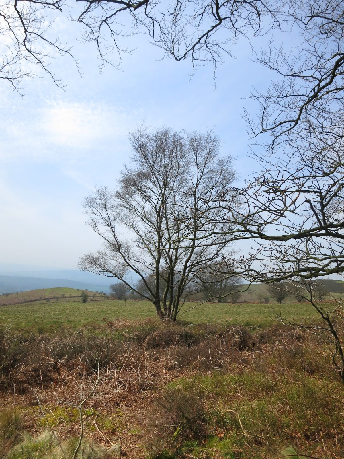 Bare tree on rough grassland seen from Quantock drove road.