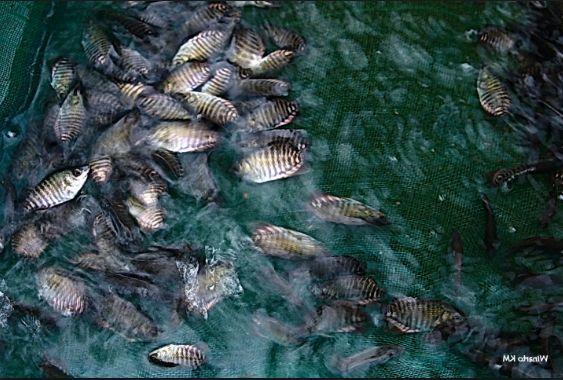 Beternak Ikan Gurame