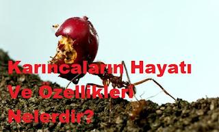 Karıncaların Hayatı Ve Özellikleri Nelerdir?