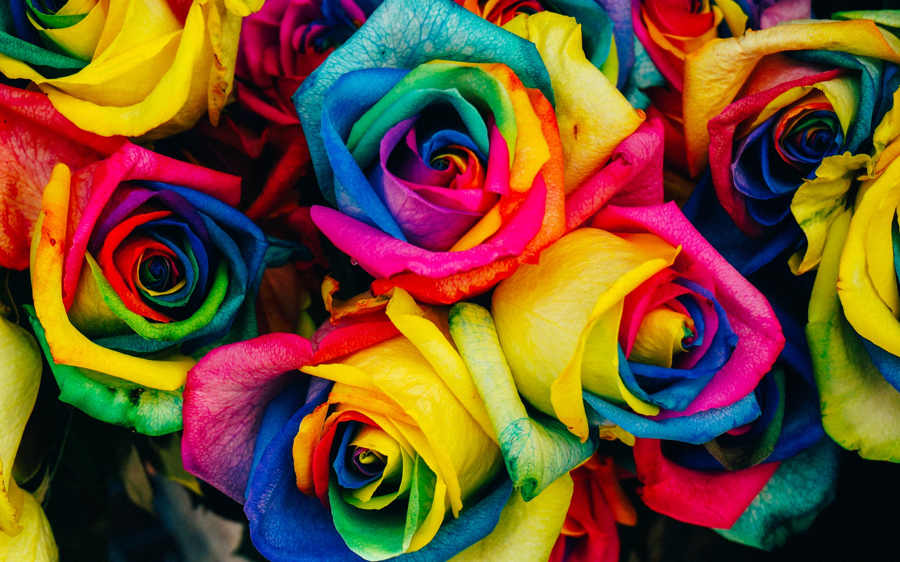 Download free colorful rose wallpapers for your mobile phone by