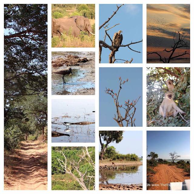 Vultures, antilopes, frogs, trees, monkeys, crocodiles, elephants, and sand tracks in Chobe National Park in Botswana