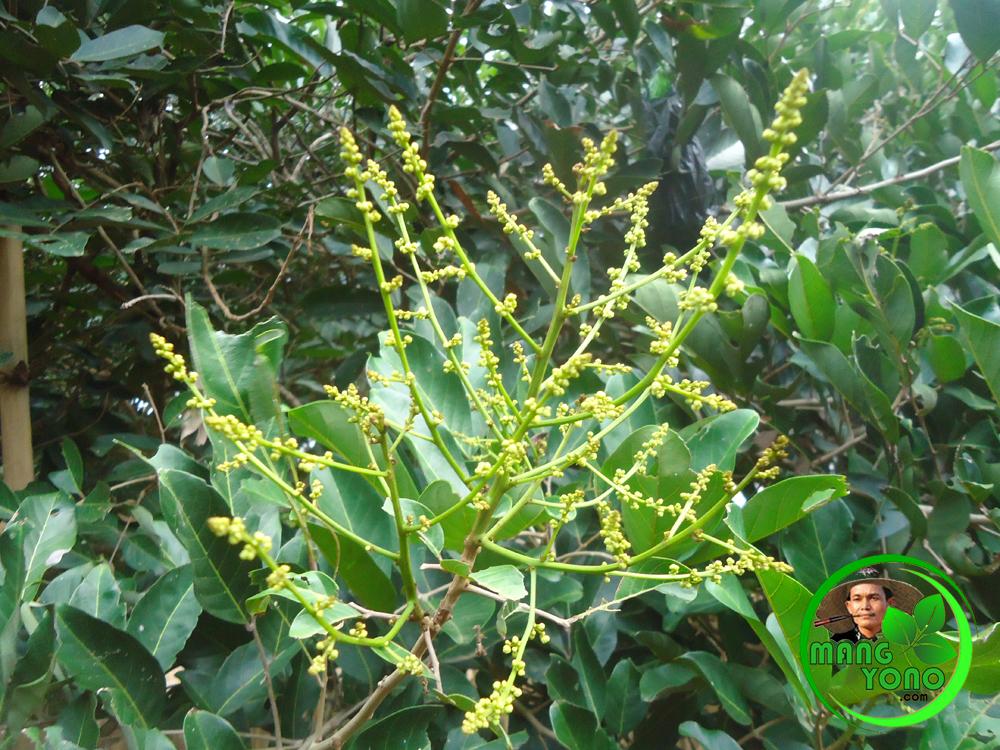 Download 88+ Gambar Bunga Rambutan Paling Keren