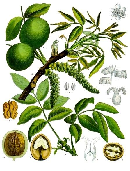Про опыление ореха грецкого