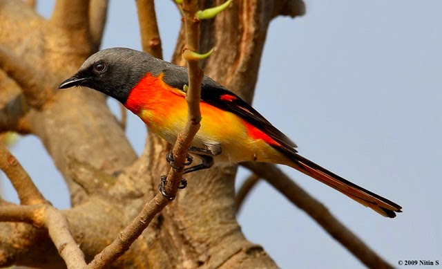 Gambar Cara Merawat Burung Mantenan