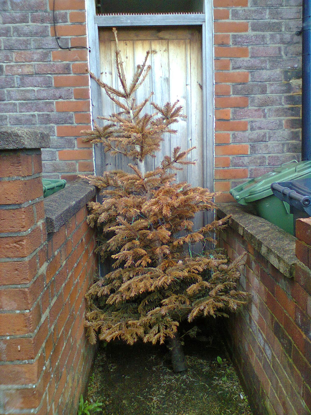 A browned off Christmas Tree in Luton. In April