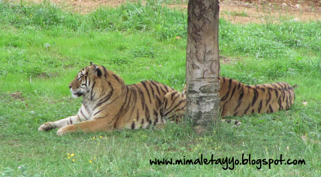 Tigres en el Parque Natural de Cabárceno, Santander