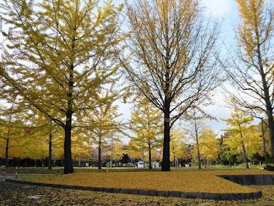 寝屋川市  銀杏(いちょう)の紅葉