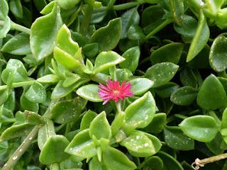 Ficoïde à feuilles en cœur - Aptenia cordifolia - Mesembryanthemum cordifolium - Apténie cordée