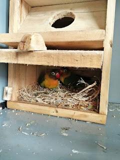 Telur Lovebird Menetas Tidak Bersamaan