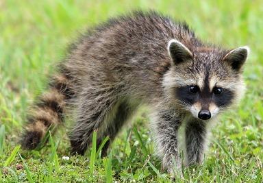 6. Raccoon