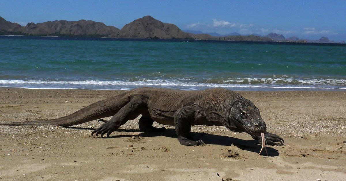Gambar Macam-macam Hewan Langka Komodo