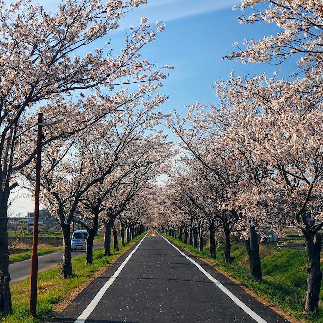 つくばりんりんロード 北条 桜