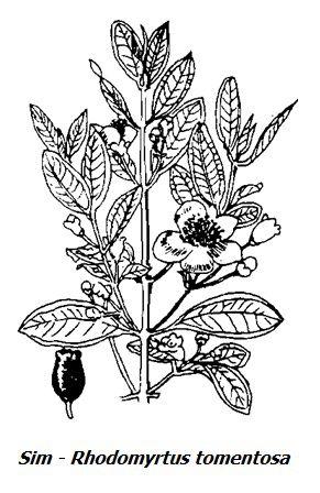 Hình vẽ cây Sim - Rhodomyrtus tomentosa - Nguyên liệu làm thuốc Chữa Đi lỏng-Đau Bụng