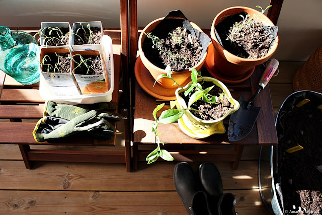 Harden off the seedlings and plants gradually