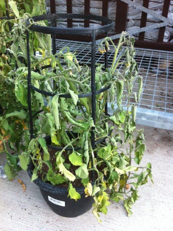 Tomato Plants Sale Walmart
