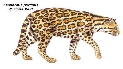 Ocelote Leopardus pardalis