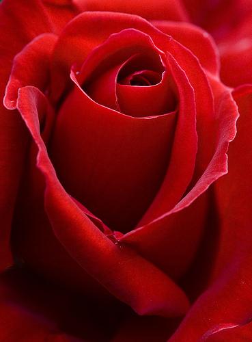 Rosa Roja Wallpapers