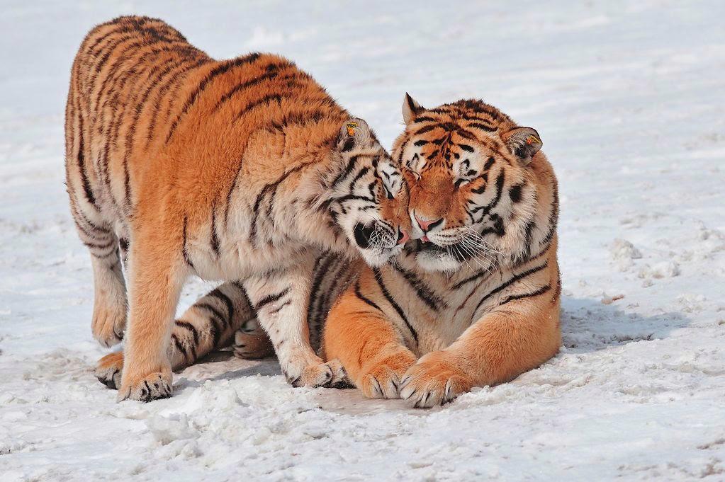 pasangan lucu-hewan-harimau