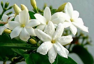 Manfaat Bunga Melati untuk Kecantikan