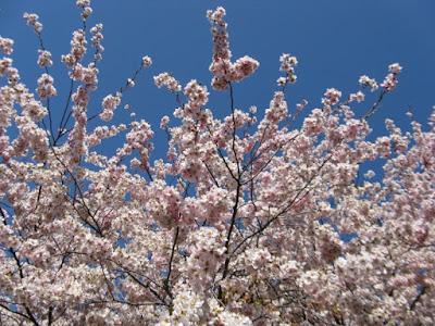 Mount Pleasant Cemetery Japanese Flowering Cherry Prunus Accolade sakura blossoms by garden muses--not another Toronto gardening blog
