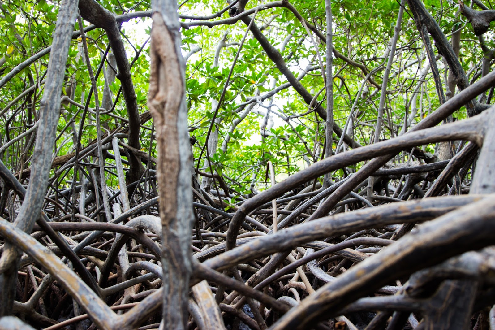 Mangrove Martinique
