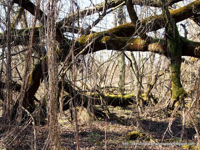 las łęgowy , łęgi , wiosna , las łęgowy , łęgi , nad rzeką , nad wisłą , przyroda , wiosenna wycieczka , wędrowanie ,
