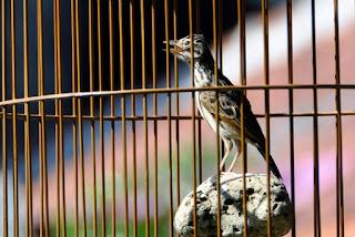 Burung Branjangan - Pemberian Extra Fooding / Pakan Tambahan yang Pas Untuk Burung Branjangan